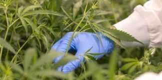 Cheeba Cannabis Academy Launches Grow Courses