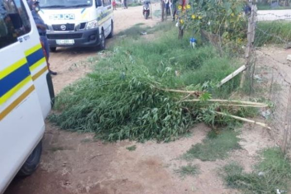 Police destroy dagga plantation, Kimberley. Photo: SAPS