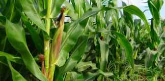 An adequate zinc supply in maize plants maintains high pollen viability and a sufficient carbohydrate source