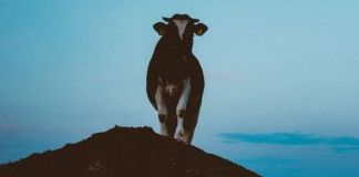 Theft of cattle from a Groot Marico farm, 2 arrested