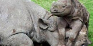 White rhinoceros poacher sentenced to 19 years in prison
