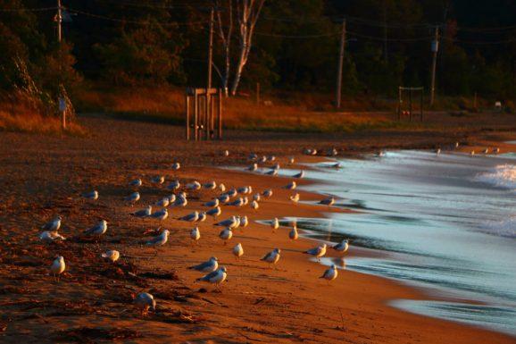 Southampton Ontario Seagulls