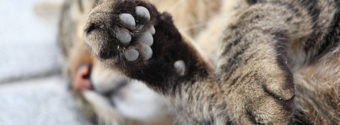 A cat raises his cute, little paw up to the camera.