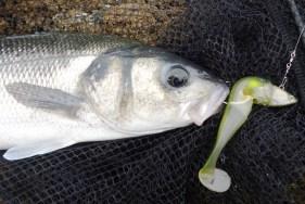 bass-caught-on-illex-nitro-shad