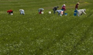 migrant farm workers in agricultural field picking