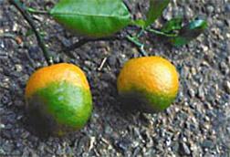 Huanglongbing on oranges. Photo courtesy of USDA.