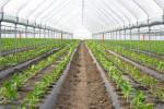 Organic farming, paprika in greenhouse