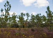 Photo of longleaf pine stand in Apalachicola Bluffs and Ravines Preserve in Bristol, Fla., by Renee Bodine