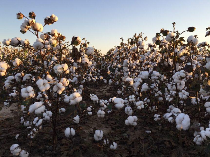 cotton production