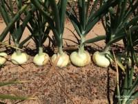 courtesy of M & T Farms, Lyons, GA, and Vidalia Onions.com