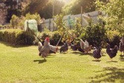 Free range chickens feeding on lush green grass in sunlight