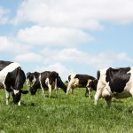 dairy cows-3