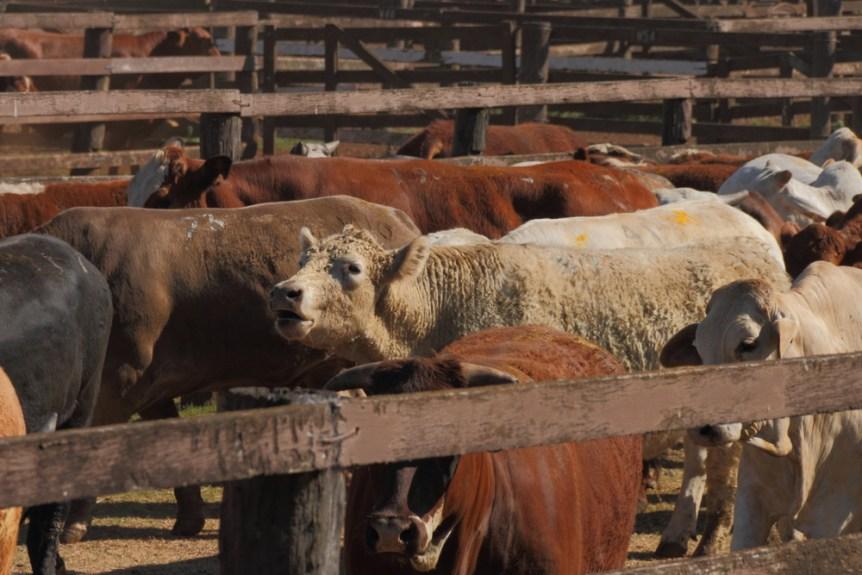 cattle-auction-4.jpg