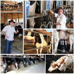 dairy-farm-management hard work