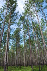 This is an established longleaf pine stand located in the Coastal Headwaters Forest just off the Gulf Coast in Alabama. Picture courtesy of Alabama NRCS.