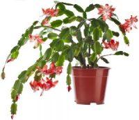 blooming Christmas cactus (schlumbergera-species)
