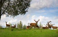 rising Deer population flock in natural habitat