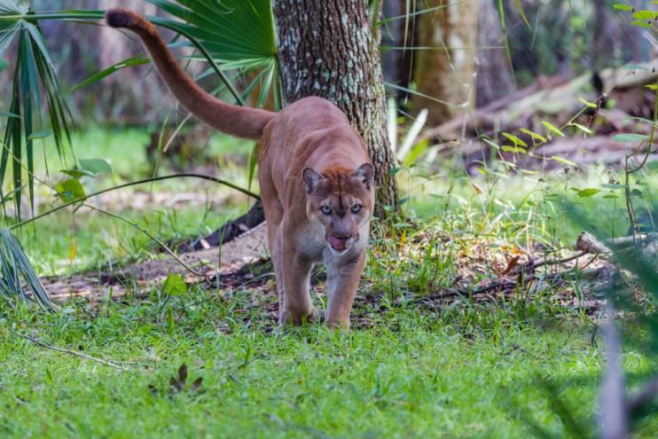 Florida Panther ranchers