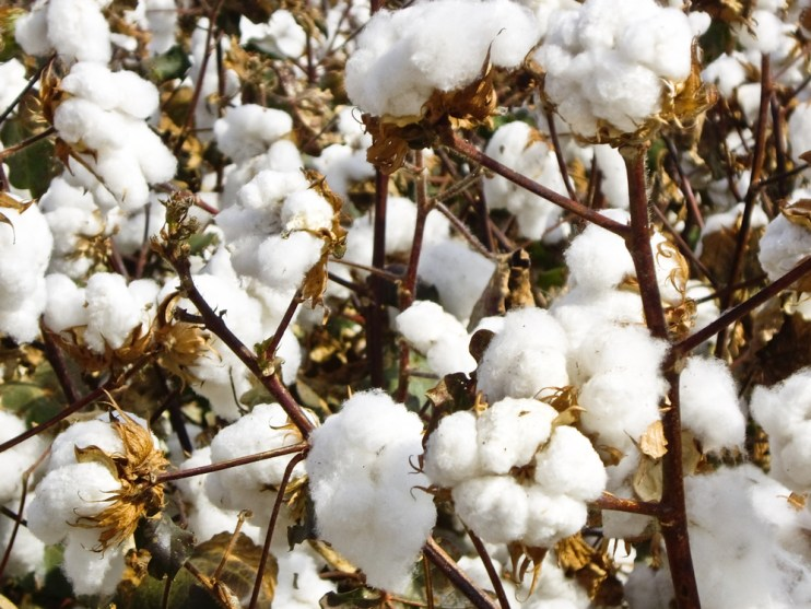 cotton consumption