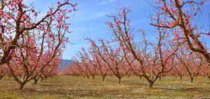peach-orchard-near-palmdale-california
