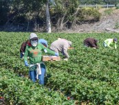 farm-field-workers-pick-and-package-strawberries-editorial