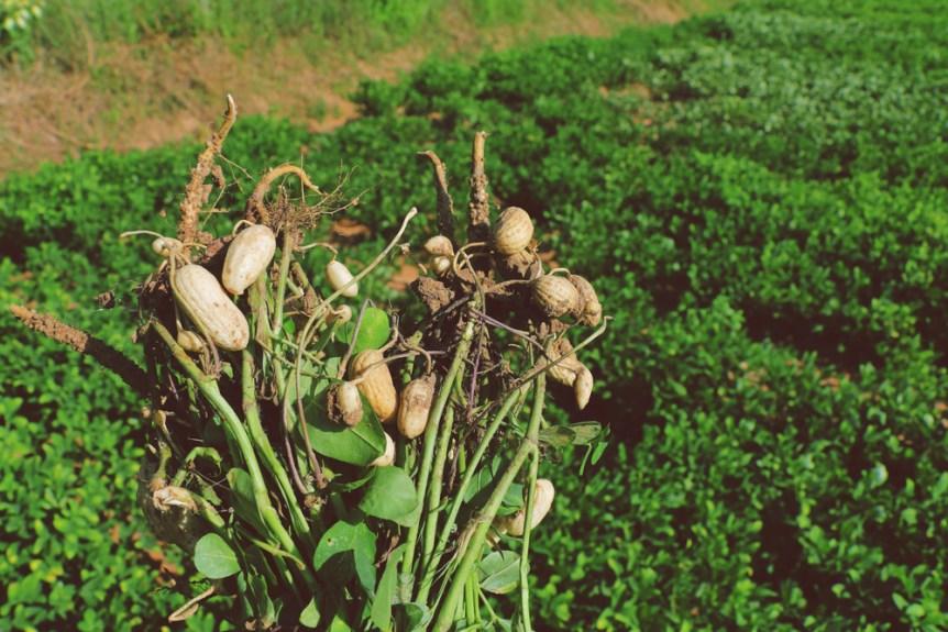 peanut genome