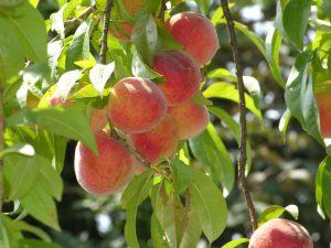 georgia peach