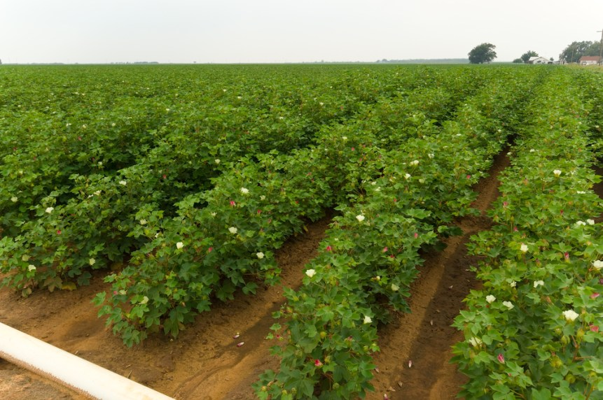 cotton acreage