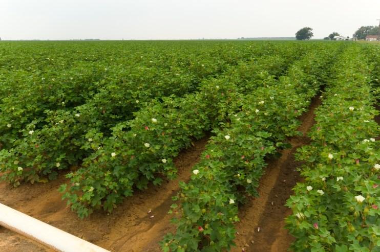 cotton condition