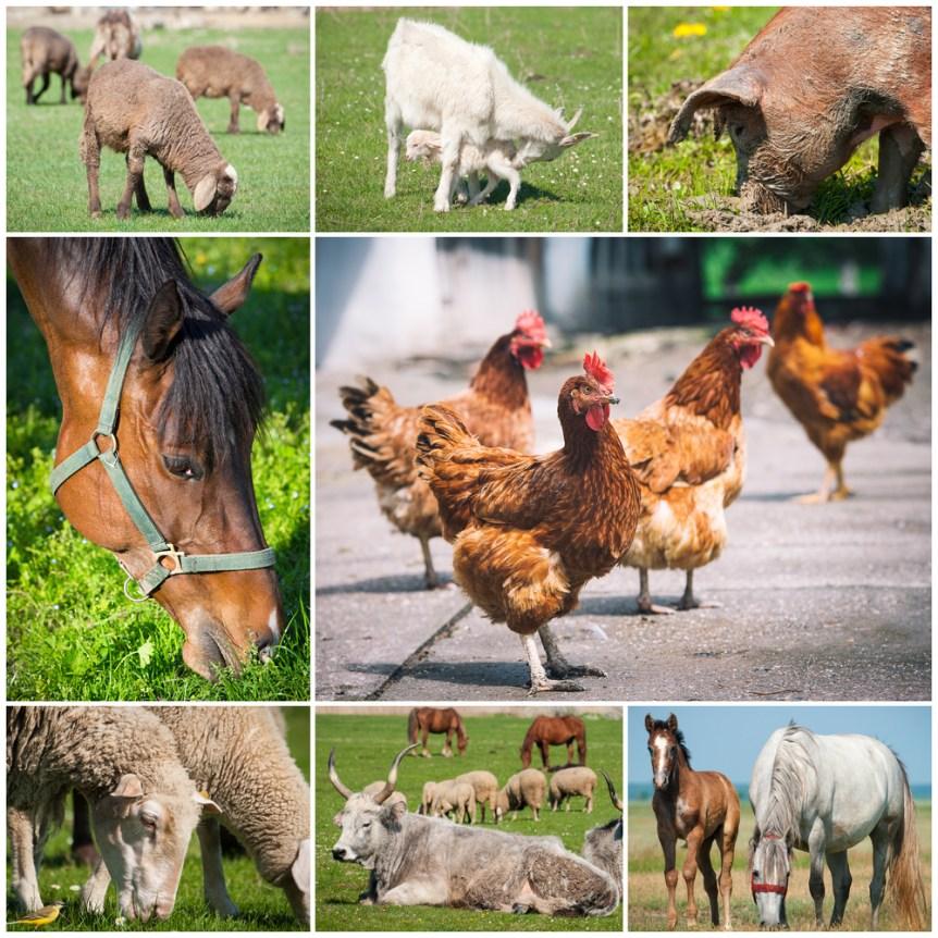 livestock poultry