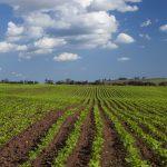 Peanut fields