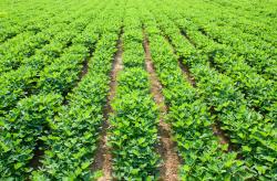 peanut acreage