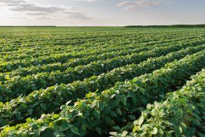 plant soybean corn acreage