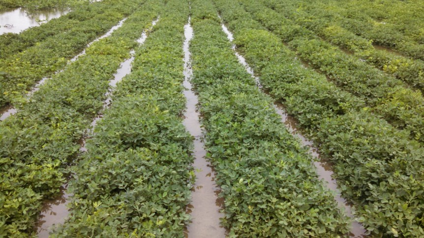 peanut crop insurance