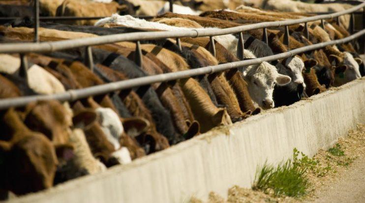 usda cattle