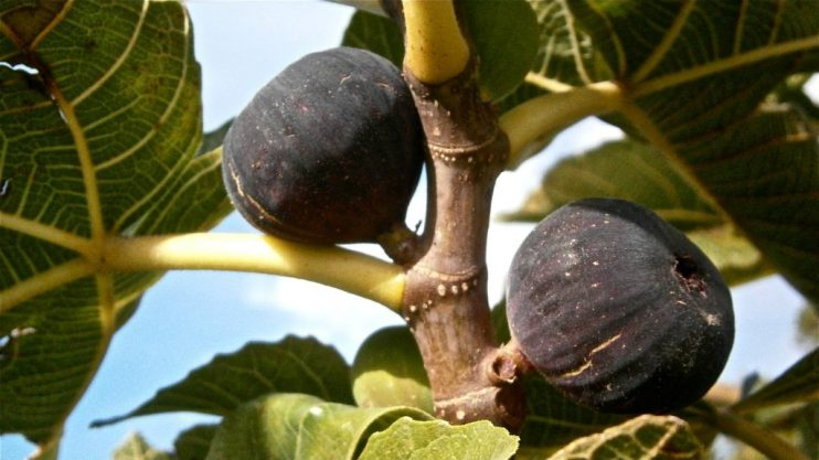 harvest homegrown figs