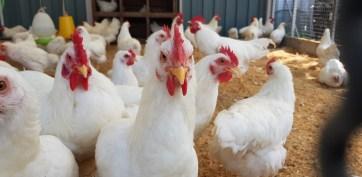 pandemic livestock