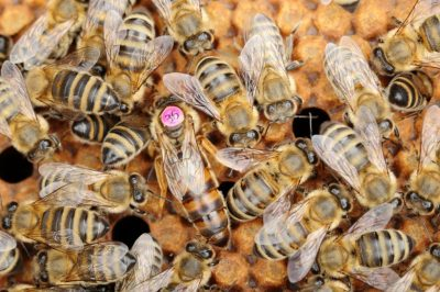queen bees