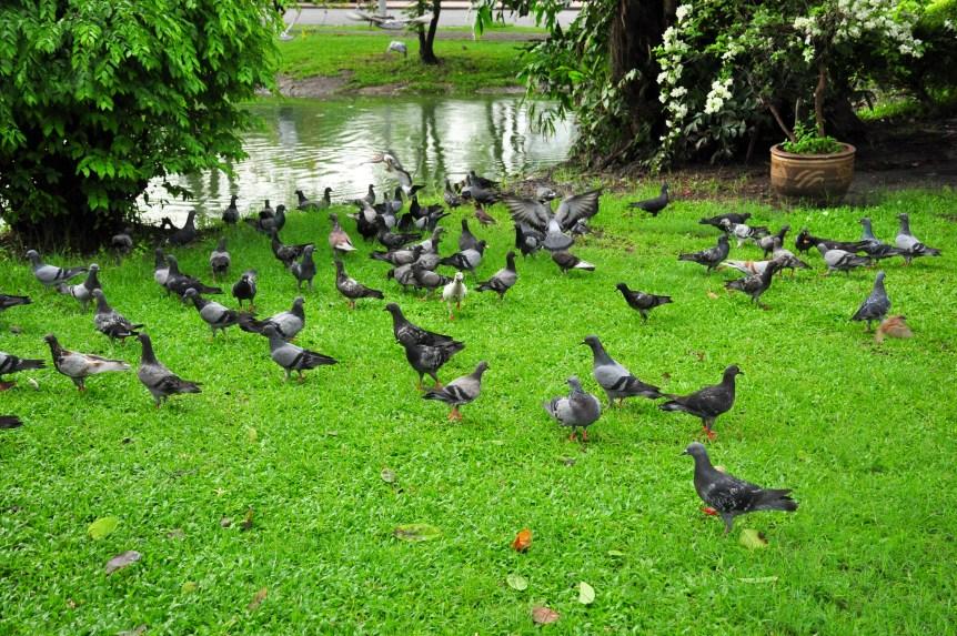 problem pigeons
