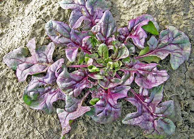 red spinach variety