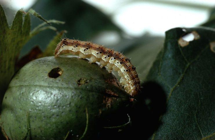 fmc corn earworms
