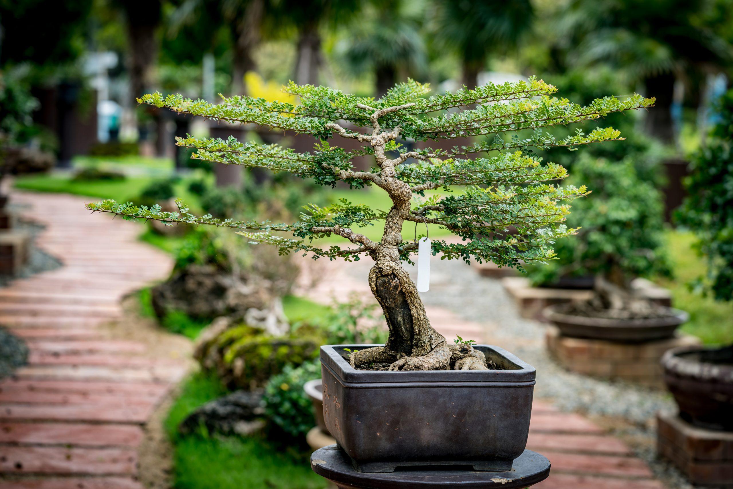 Growing Bonsai Even If You Are A Beginner Southeast Agnet