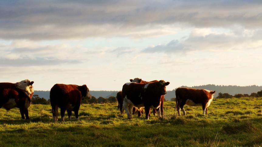 weekly livestock market report