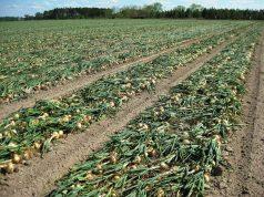 vidalia onions field