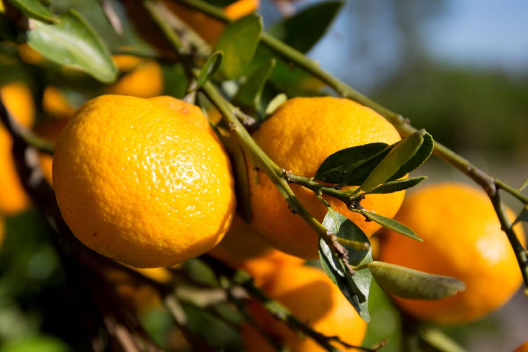 paraziták a citrus levelein