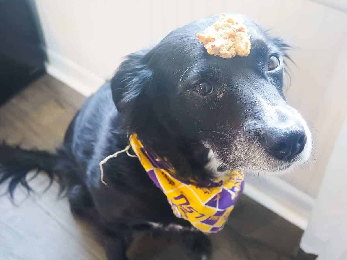 A border collie with a dog treat on her head.