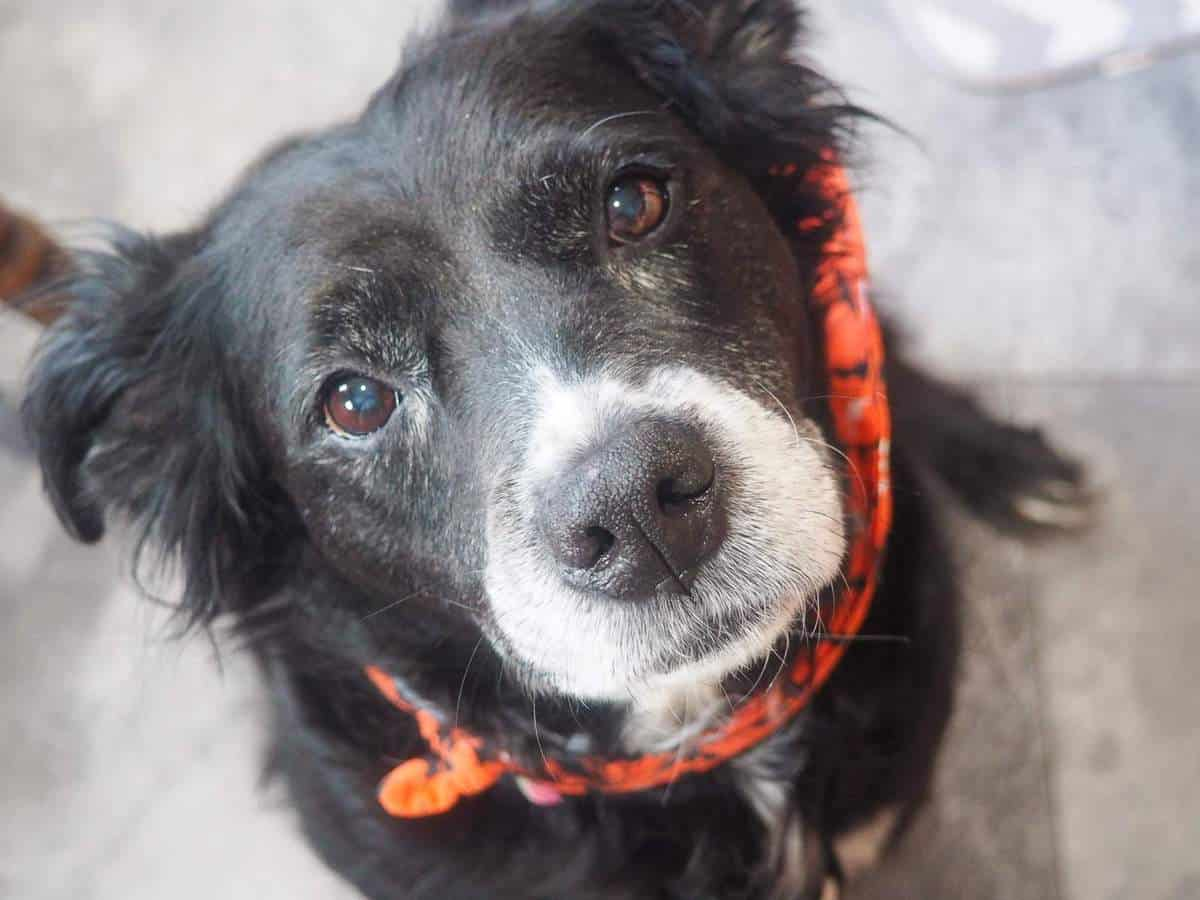 A black and white dog wearing an orange scarf staring longingly at the camera for a treat.