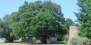 original tree