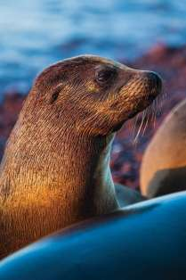 Galapagos sea lions, Zalophus californianus, at home on the red sand beaches of Rabida Island. Photo Credit: Jad Davenport