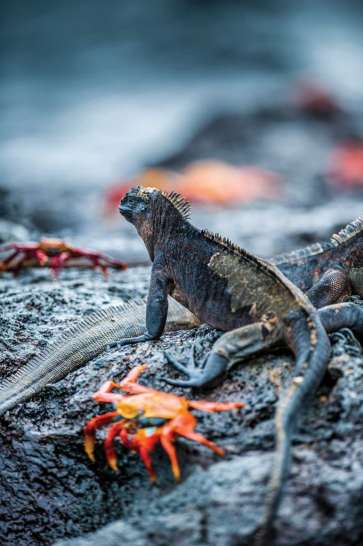 Marine iguanas, Amblyrhynchus cristatus, split from land iguanas millions of years ago and became adept at swimming and foraging for algae in the sea. Photo Credit: Jad Davenport